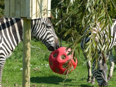 Picture of Zebra with special feeder